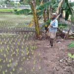William Oematan sedang memperhatikan tanaman padi yang terletak di belakang rumahnya, Jalan Polisi Militer, Oepoi (Foto : Aldy/kupangterkini.com)